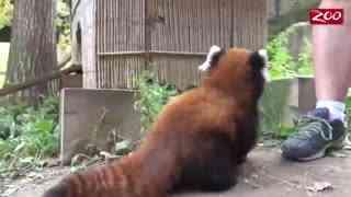 【小熊猫】一群小熊猫宝宝第一次尝试探索户外的世界