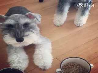 【狗狗】网友家里养了两只雪纳瑞Jiji和Toto,虽然都是小馋鬼,但是妹妹Toto看到食物的时候,居然会自动切换到震动模式