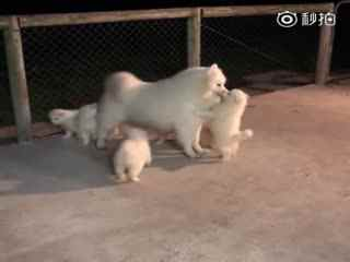 【萨摩耶】这是萨摩耶爸爸Brice第一次见到它的宝宝们,愣了一会神后刚想给每个宝宝一个kiss的时候,却发现小家伙们好像把它当成了妈妈……