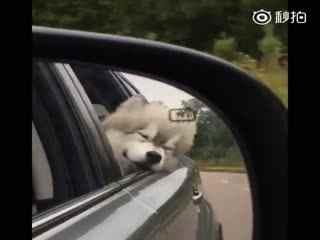 【狗狗】网友带着家里的阿拉斯加出去兜风。没想到这个雪橇三傻还挺文静,默默的迎风享受......
