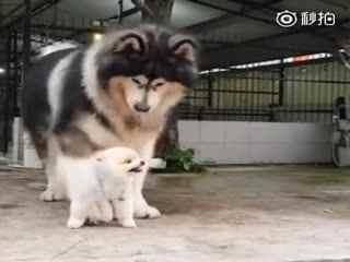 【狗狗】网友家的阿拉斯加最近遇到了一个难题:为什么新来的小博美总是气鼓鼓的!