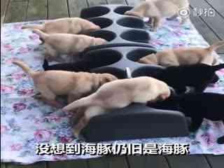 【狗狗】刚断完奶的小奶汪吃饭尤其没吃相,捡屎官只能给它们一汪搞个单间,然而还是低估了吃货的能力……