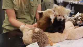 【小熊猫】一对双胞胎小熊猫宝宝,日常最大的爱好是摔跤,以及互相给对方闻自己的臭脚丫