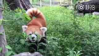 【小熊猫】你的小可爱突然出现!