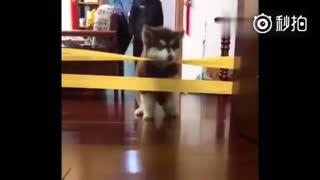 【狗狗】最近流行用胶带测试汪星人的智商,主人给家里的阿拉斯加测试了一下,结果..