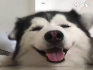 【狗狗】分享一只耳朵会跳舞的狗子!
