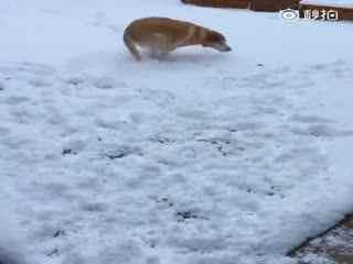 【狗狗】捡屎官带着家里的拉布拉多去玩雪,还用雪球戏弄了一下狗子