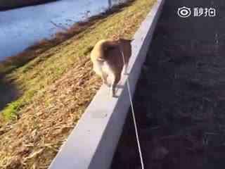 【柴犬】就算是风大天冷,我们柴宝就是要出门去散步!