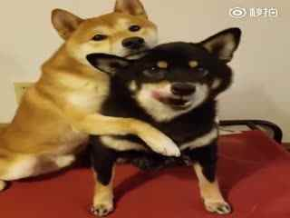 【柴犬】提问:谁是你最好的朋友?