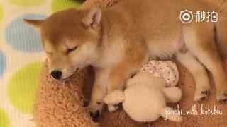 【柴犬】嘘……宝宝睡着啦