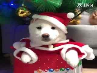 【柴犬】虽然圣诞节已经过去了,但是还是很想要个这样的圣诞柴