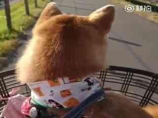 【柴犬】这么一个毛绒绒的后脑勺,根本没办法认真看前方啊!