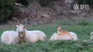 【狗狗】看看这只狗狗,开始佛系牧羊了,平心静气还有坐骑