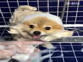 【狗狗】大概是因为毛长,每次洗澡的时候捡屎官总会给它弄各种各样的造型