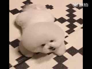 【狗狗】不开心的时候捏一把肥嘟嘟的棉花糖