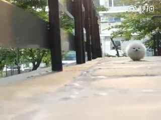 【狗狗】小博美圆滚滚的像个长脚的毛球