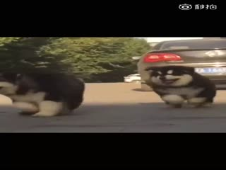 【狗狗】阿拉斯加小时候根本就是熊吧