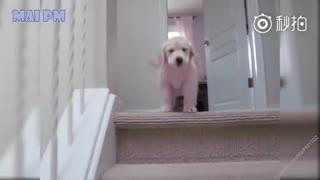 【狗狗】蠢萌小金毛的十大可爱瞬间