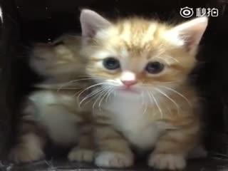 【猫】两只小橘奶猫,缩在篮子里好奇又不敢出来的样子
