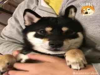 【柴犬】豆丸宝宝被揉胸,一脸懵逼到要睡着的样子太可爱了
