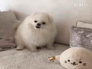 """【狗狗】两只""""小海豹""""吵起来了"""