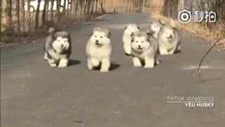 【狗狗】这群奶奶养大的小阿拉也太可爱了吧