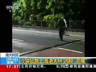 澳大利亚袋鼠跑上海港大桥 网友:它交过桥费了吗?