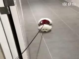 【狗狗】网友每次带自家比熊Momo出门都很头疼