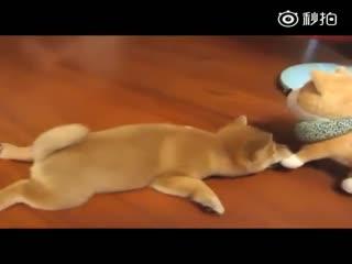 【狗狗】心情不好的时候吸一口软软糯糯的小狗子
