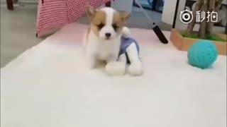 【狗狗】柯基宝宝路都还走不稳就先学着到处蹦跶了