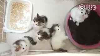 【猫】网友家刚准备断母乳的小奶猫们