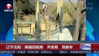 沈阳:熊猫四姐弟齐卖萌 贺新年