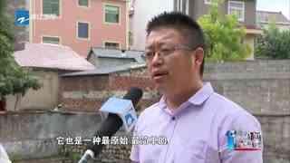 """杭州富阳:发现""""水中大熊猫""""桃花水母"""