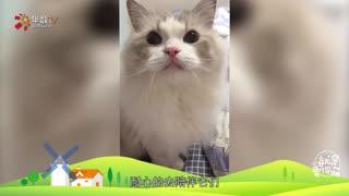 【就是要你萌】猫中仙女——布偶猫