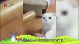 【就是要你萌】猫咪酱来袭:会说一口东北方言的喵星人见过没?