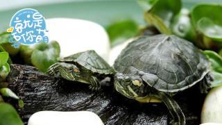 【就是要你萌】巴西龟:带着绿色城堡的红耳萌宠