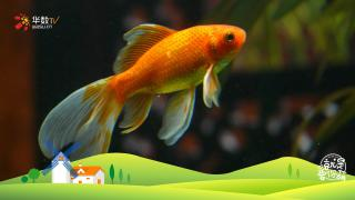 【就是要你萌】生活在水中的艺术品——金鱼