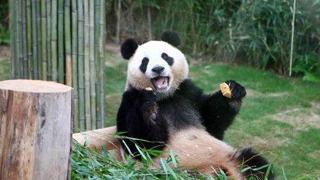 """大熊猫(下):""""熊""""霸天下"""