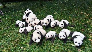 """【就是要你萌】大熊猫(上):""""滚滚""""而来"""