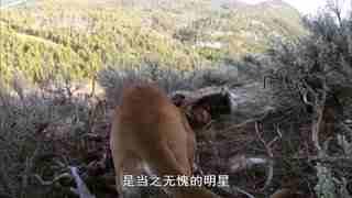 自然世界_20190202_美洲狮 危机边缘的生活