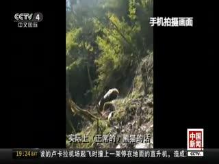 四川雅安:救助野生大熊猫回归自然