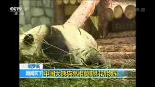 中国大熊猫亮相莫斯科动物园