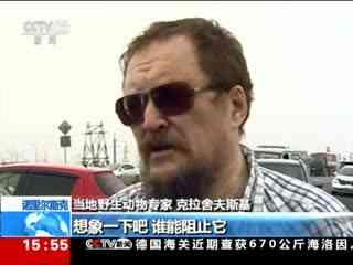 """俄罗斯:""""稀客""""北极熊现身西伯利亚城市"""