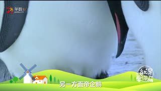 【就是要你萌】企鹅(上):身披燕尾服的绅士