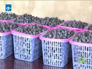 翠花牵线_20190723_蓝莓 高山上的蓝色浆果