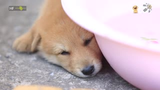治愈276:珍岛犬