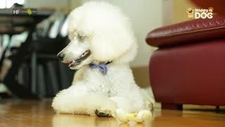 治愈274:贵宾犬
