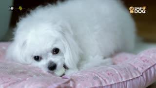 治愈289:马尔济斯犬