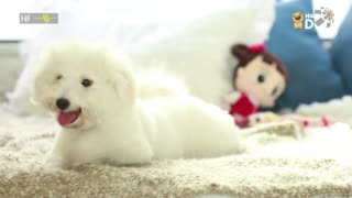 治愈268:贵宾犬
