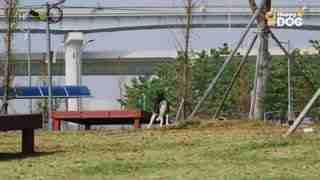 治愈284:西伯利亚雪橇犬